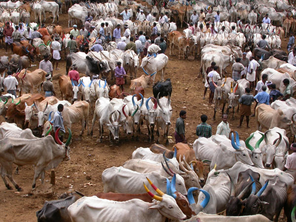 Yearly Pushkar cattle fair